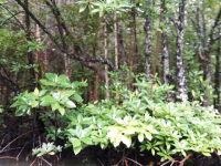 Mangrow forest (5)